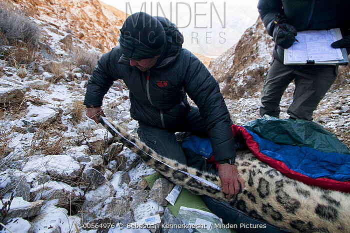 Snow Leopard (Panthera uncia) biologist, Shannon Kachel, measuring tail during collaring of male snow leopard, Sarychat-Ertash Strict Nature Reserve, Tien Shan Mountains, eastern Kyrgyzstan