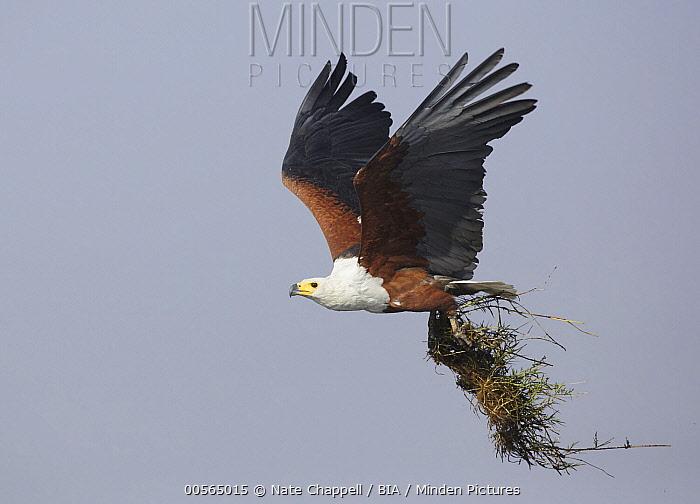 African Fish Eagle (Haliaeetus vocifer) carrying nesting material, Chobe National Park, Botswana