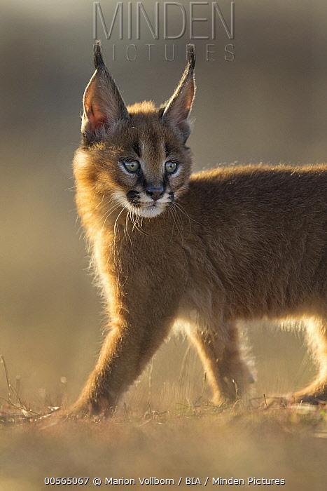 Caracal (Caracal caracal) cub, native to Africa and Asia