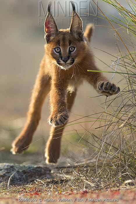 Caracal (Caracal caracal) cub jumping, native to Africa and Asia