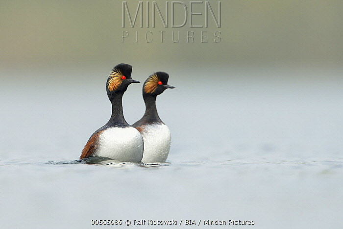 Eared Grebe (Podiceps nigricollis) pair courting, Netherlands