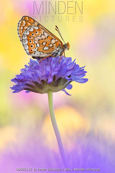 Marsh Fritillary (Euphydryas aurinia) butterfly, Dalmatia, Croatia