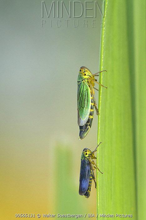 Green Leafhopper (Cicadella viridis) male and female, Utrecht, Netherlands
