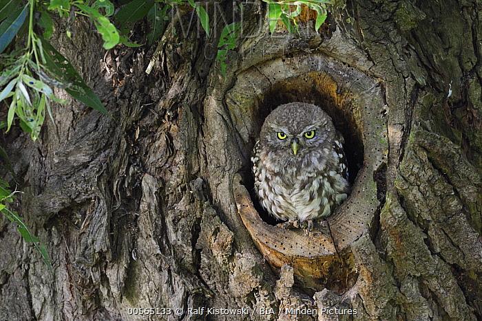 Little Owl (Athene noctua) chick in nest cavity, North Rhine-Westphalia, Germany