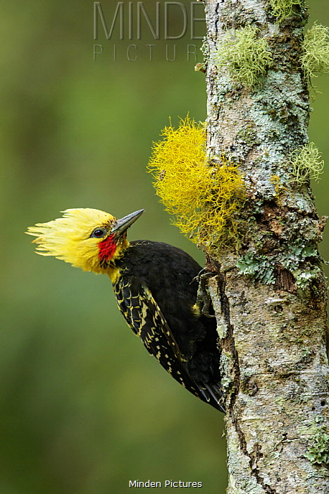 Blond-crested Woodpecker (Celeus flavescens), Atlantic Rainforest, Brazil