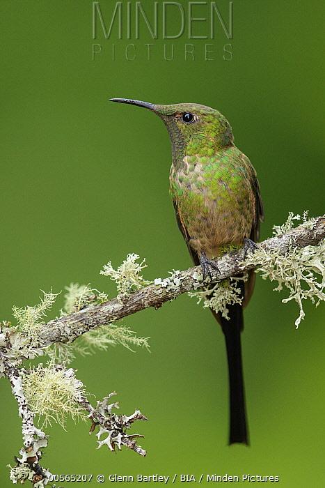 Black-tailed Trainbearer (Lesbia victoriae) hummingbird, Colombia