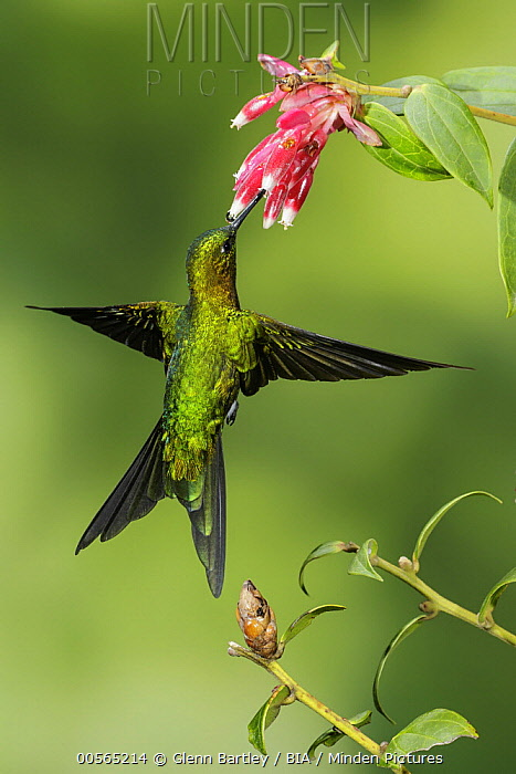 Golden-breasted Puffleg (Eriocnemis mosquera) feeding on flower nectar, Colombia
