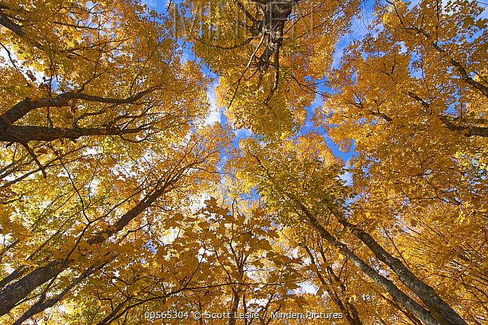 Sugar Maple (Acer saccharum) trees in autumn, Mount Carleton Provincial Park, New Brunswick, Canada