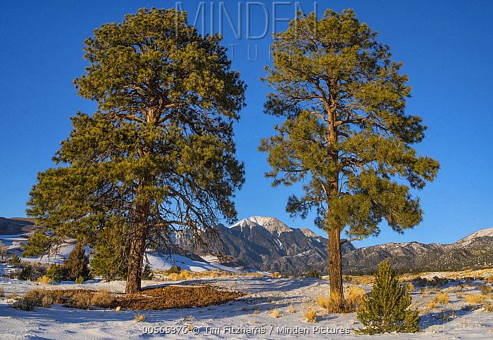 Ponderosa Pine (Pinus ponderosa) trees and Mount Herard, Great Sand Dunes National Park, Colorado