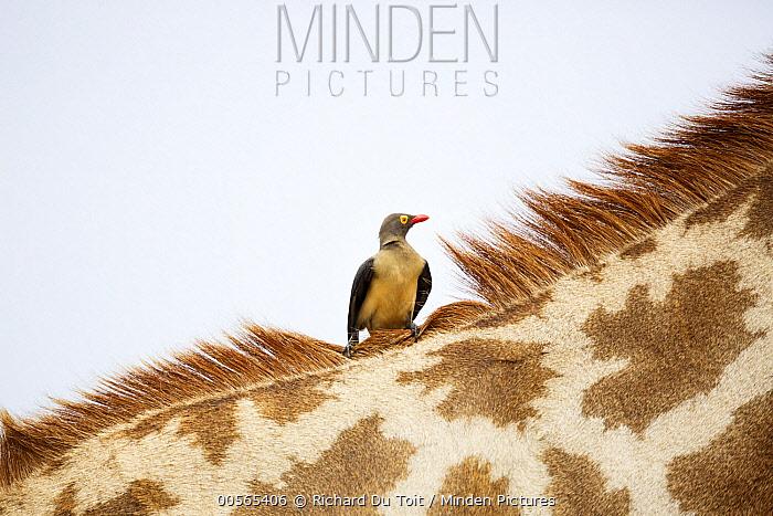 Red-billed Oxpecker (Buphagus erythrorhynchus) on South African Giraffe (Giraffa giraffa giraffa), Kruger National Park, South Africa