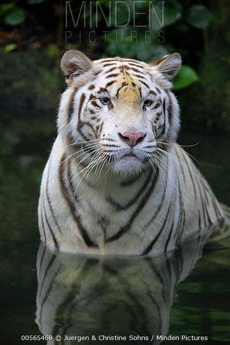 Bengal Tiger (Panthera tigris tigris), white morph in water, Singapore Zoo, Singapore