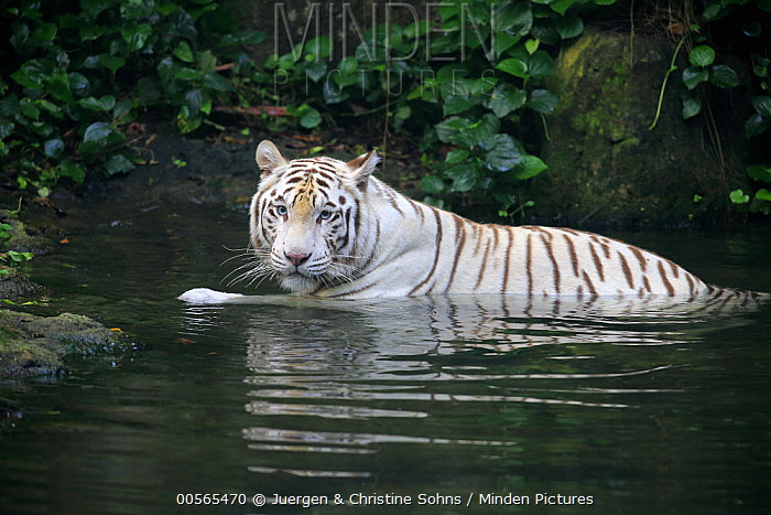 Bengal Tiger (Panthera tigris tigris), white morph in water, Singapore Zoo, Singapore