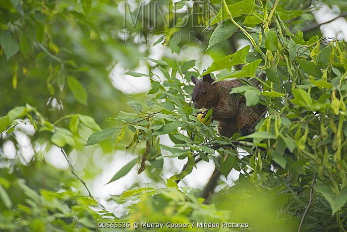 Guayaquil Squirrel (Sciurus stramineus) feeding on fruit, Ecuador