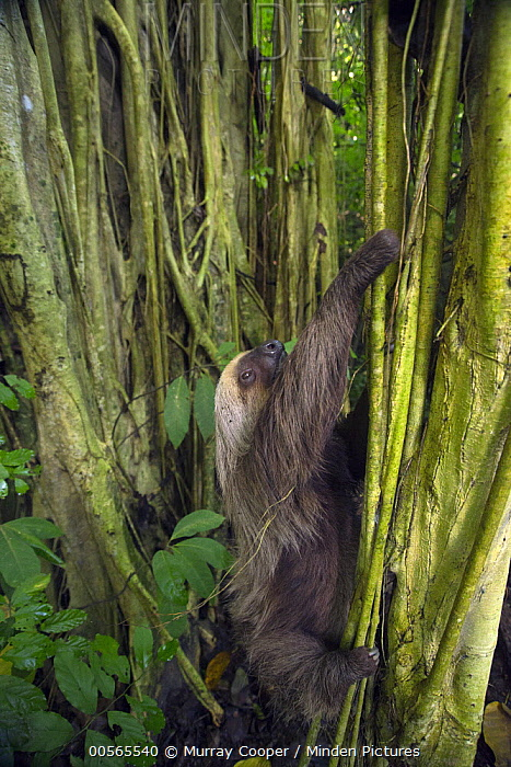 Hoffmann's Two-toed Sloth (Choloepus hoffmanni) climbing tree, Ecuador