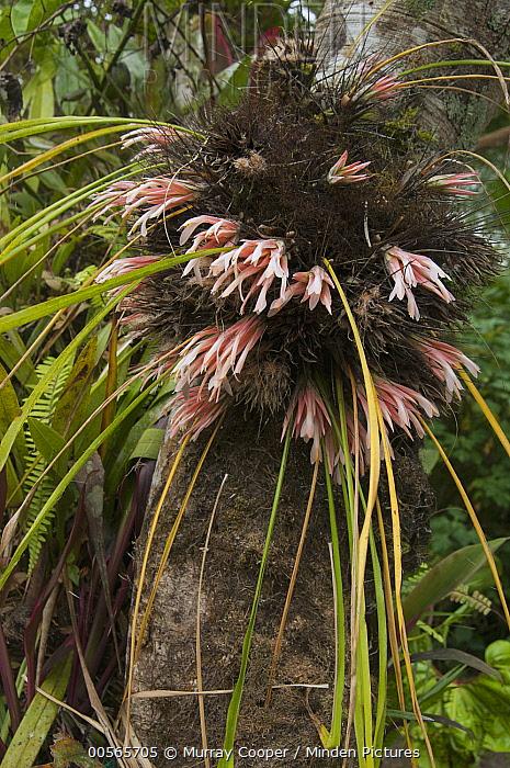 Bromeliad (Bromeliaceae) flowers, Ecuador
