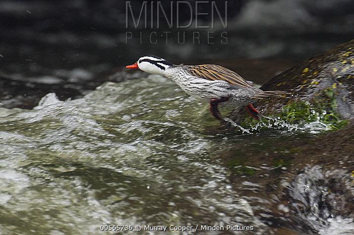 Torrent Duck (Merganetta armata) male entering river, Ecuador