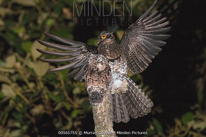 Andean Potoo (Nyctibius maculosus) landing on stump where another individual is already perched, Ecuador