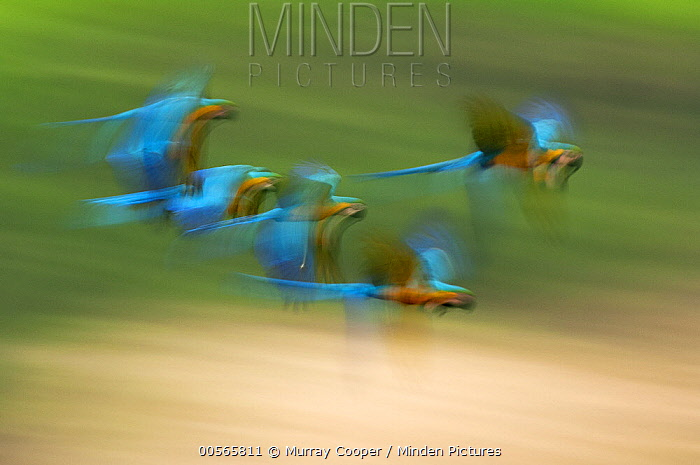 Blue and Yellow Macaw (Ara ararauna) group flying, Ecuador