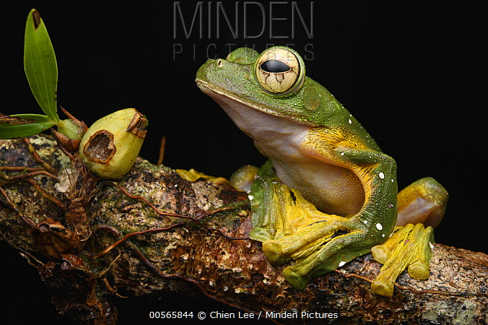 Wallace's Flying Frog (Rhacophorus nigropalmatus), Gunung Penrissen, Sarawak, Borneo, Malaysia