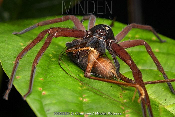 Giant Crab Spider (Sparassidae)with parasitic midge, feeding on cricket, Gunung Penrissen, Sarawak, Borneo, Malaysia