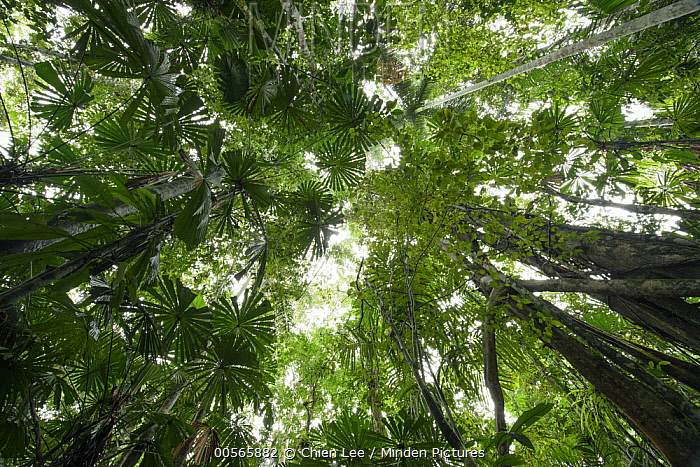 Fan Palm (Licuala sp) trees in lowland rainforest, Nimbokrang, New Guinea, Indonesia