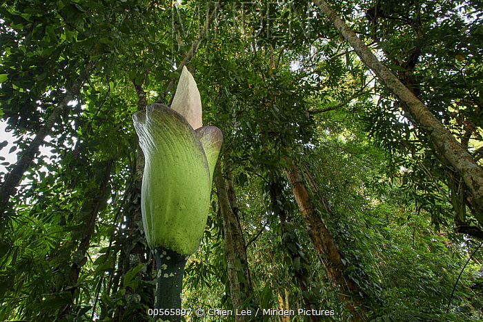 Giant Voodoo Lily (Amorphophallus hewittii) inflorescence in lowland rainforest, Mulu National Park, Sarawak, Borneo, Malaysia
