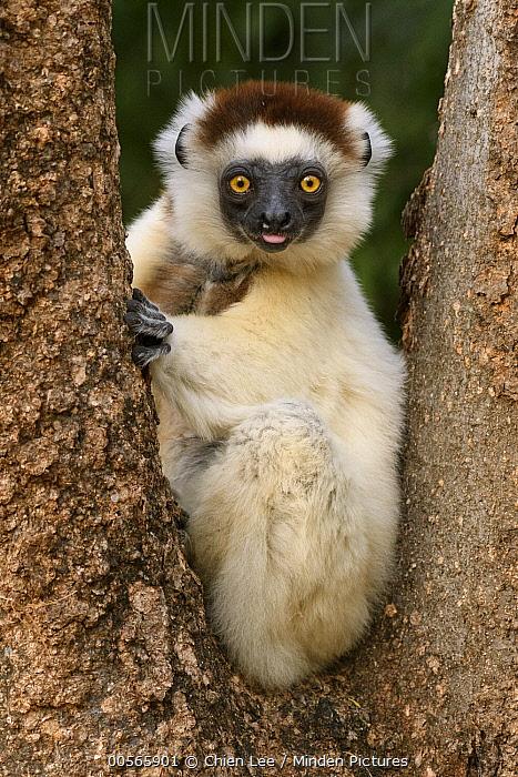 Verreaux's Sifaka (Propithecus verreauxi), Berenty Private Reserve, Amboasary, Madagascar