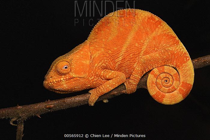 Parson's Chameleon (Calumma parsonii) juvenile, Andasibe, Madagascar