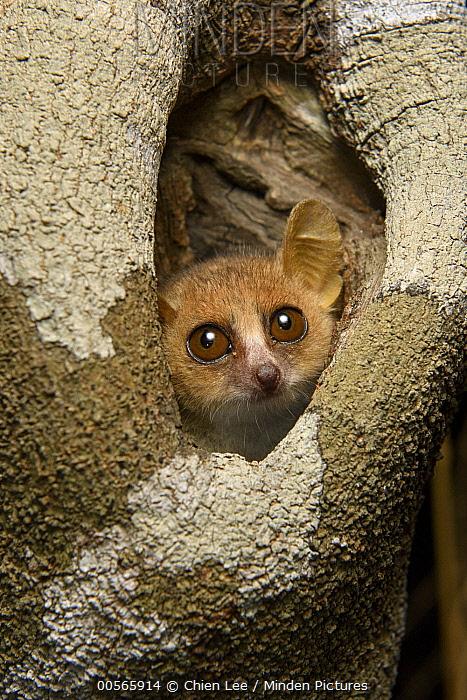 Gray Mouse Lemur (Microcebus murinus) in tree hole, Kirindy Forest, Morondava, Madagascar