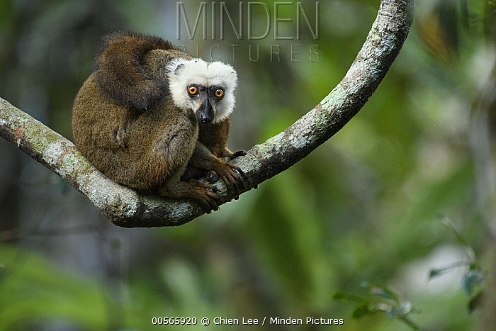 White-fronted Brown Lemur (Eulemur fulvus albifrons) male, Marojejy National Park, Madagascar