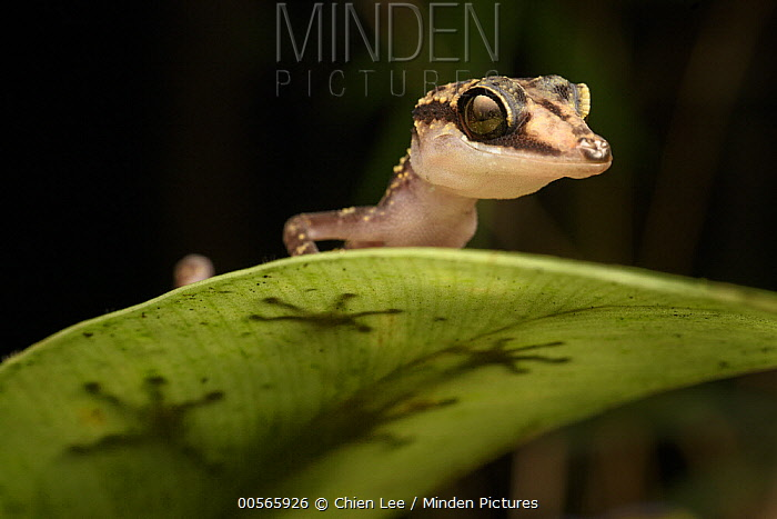 Graceful Madagascar Ground Gecko (Paroedura gracilis), Marojejy National Park, Madagascar