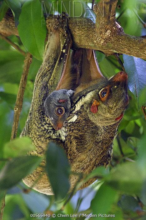 Sunda Flying Lemur (Galeopterus variegatus) mother with young, Bako National Park, Sarawak, Borneo, Malaysia
