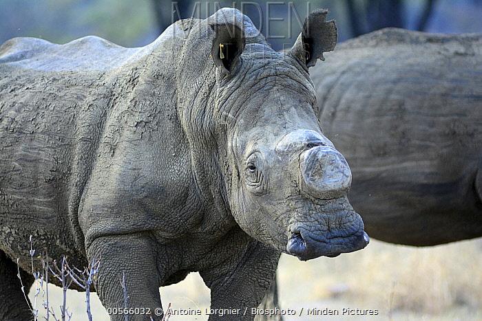 Horn Minden minden pictures stock photos white rhinoceros ceratotherium simum