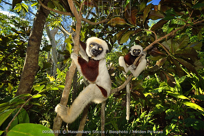 Verreaux's Sifaka (Propithecus verreauxi) pair in forest, Madagascar