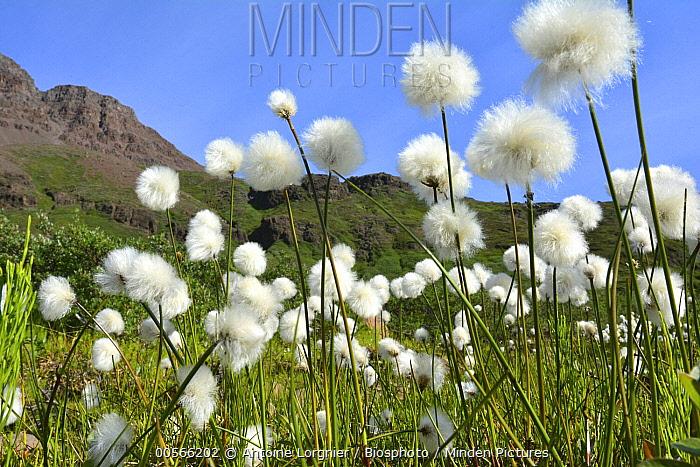 Cottongrass (Eriophorum sp) field, Greenland