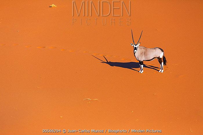 South African Oryx (Oryx gazella gazella), Namib Desert, Namibia