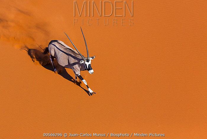 South African Oryx (Oryx gazella gazella) running, Namib Desert, Namibia