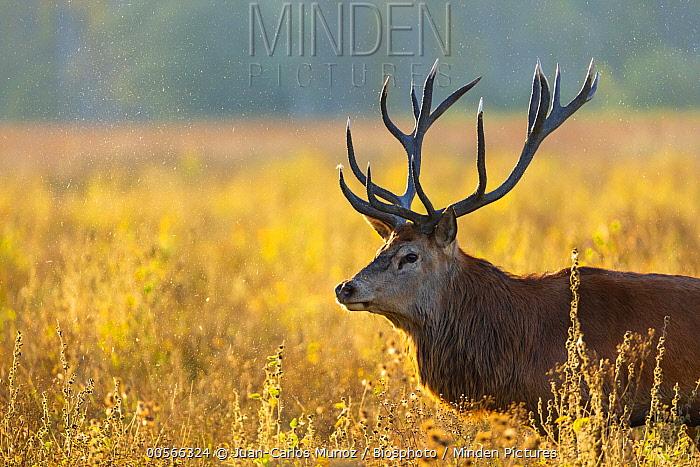 Red Deer (Cervus elaphus) stag, Europe