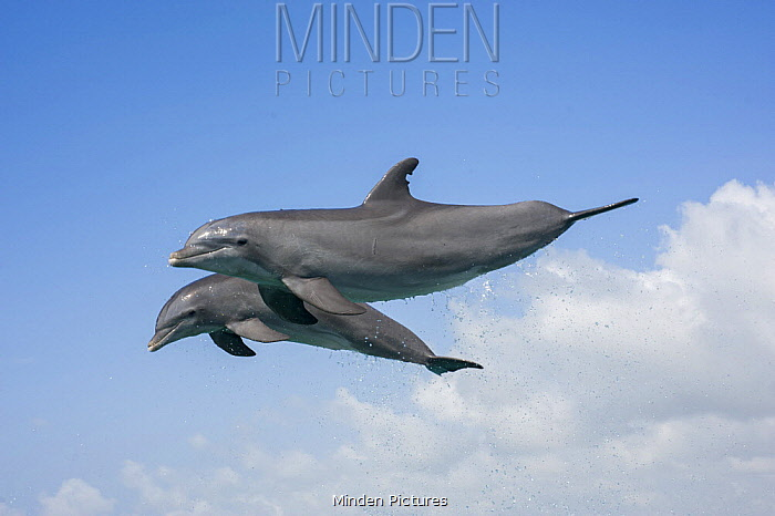 Bottlenose Dolphin (Tursiops truncatus) pair leaping, Bahamas, Caribbean