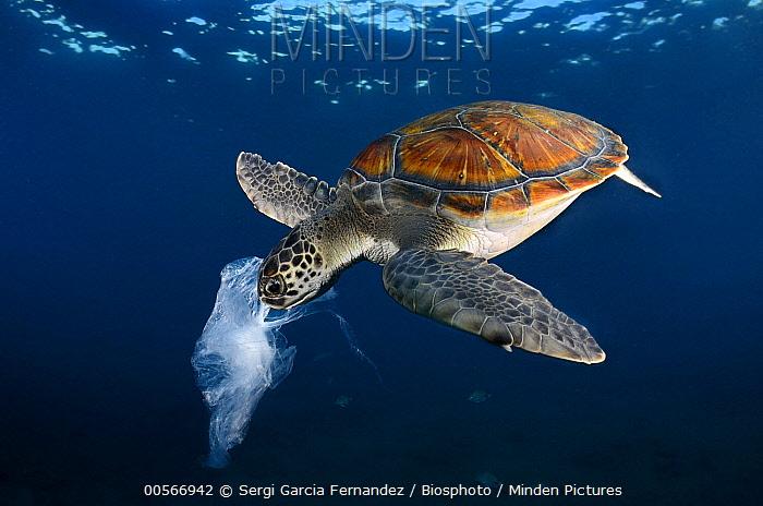 Green Sea Turtle (Chelonia mydas) eating plastic bag resembling jellyfish, Tenerife, Canary Islands