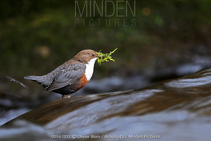 White-throated Dipper (Cinclus cinclus) carrying nesting material, Vaud, Switzerland