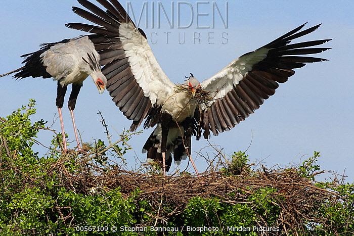 Secretary Bird (Sagittarius serpentarius) pair building nest, Masai Mara, Kenya