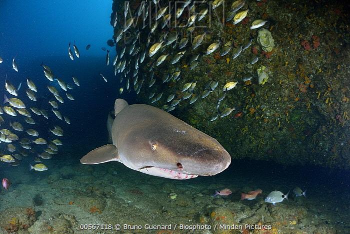 Grey Nurse Shark (Carcharias taurus) swimming through fish school, Protea Banks, South Africa