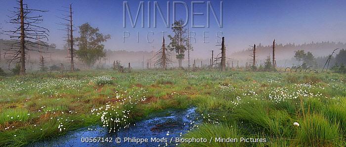 Cottongrass (Eriophorum sp) flowers and dead trees in bog, Ardennes, Belgium