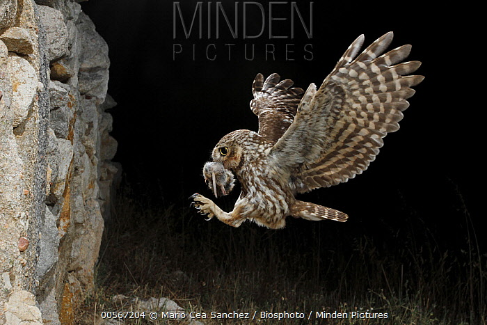 Little Owl (Athene noctua) landing with prey at night, Salamanca, Spain