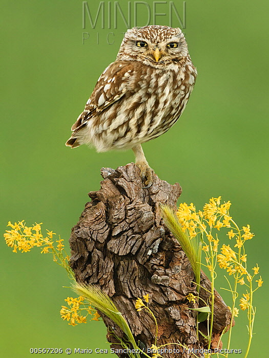 Little Owl (Athene noctua), Salamanca, Spain