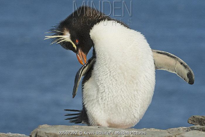 Southern Rockhopper Penguin (Eudyptes chrysocome) preening, Falkland Islands