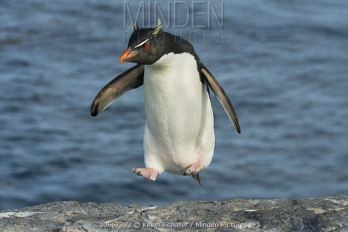 Southern Rockhopper Penguin (Eudyptes chrysocome) hopping up shore, Falkland Islands