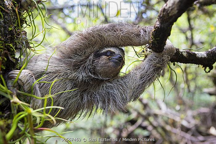 Pygmy Three-toed Sloth (Bradypus pygmaeus) climbing, Isla Escudo de Veraguas, Panama
