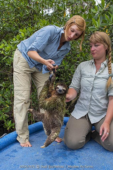 Pygmy Three-toed Sloth (Bradypus pygmaeus) biologist, Rebecca Cliffe, weighing adult, Isla Escudo de Veraguas, Panama